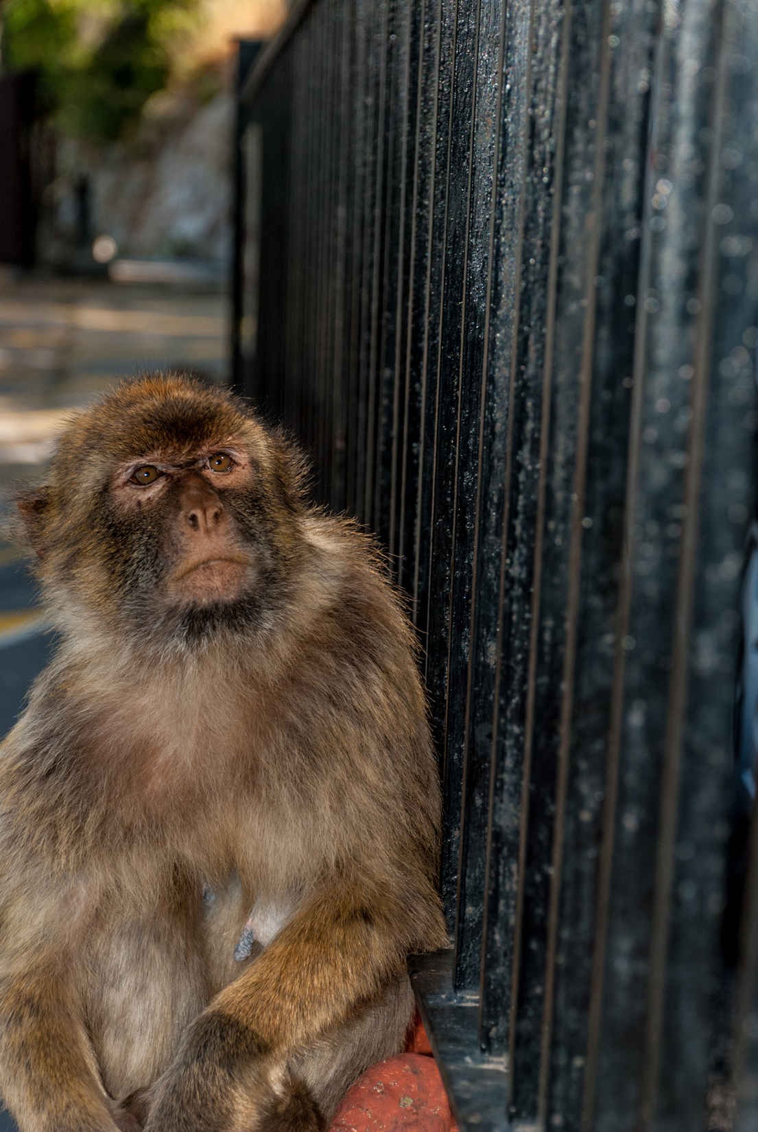 Gibraltar is home to a unique population of Barbary macaques